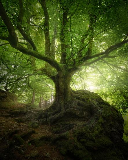 Butawitsch Anke - Ancient tree - Annahme