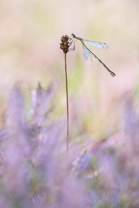 Christ Torsten - Dragonfly among heather - Annahme - 4 NL